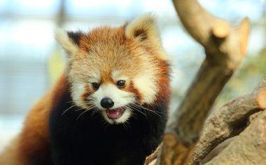 神戸どうぶつ王国の仲間 Red Panda