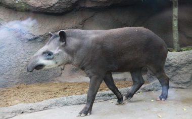 神戸どうぶつ王国の仲間 South American Tapir