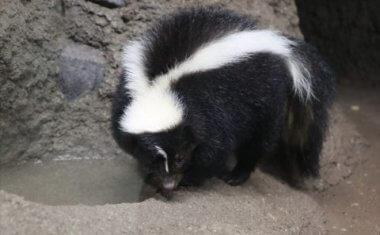 神戸どうぶつ王国の仲間 Striped Skunk