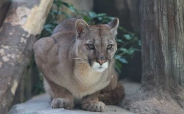神戸どうぶつ王国の仲間 Cougar(Puma)