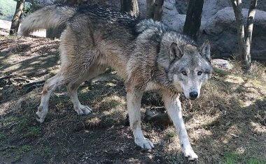 神戸どうぶつ王国の仲間 Timber Wolf