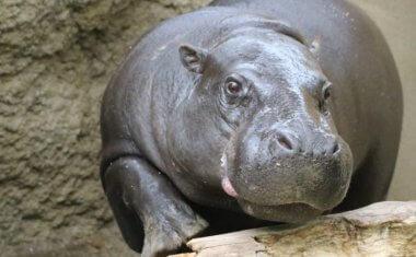 神戸どうぶつ王国の仲間 Pygmy hippopotamus