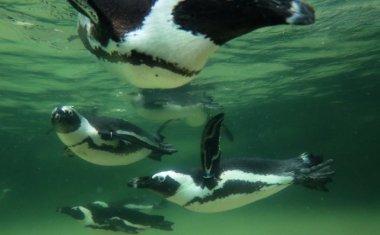 神戸どうぶつ王国の仲間 African Penguin