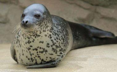 神戸どうぶつ王国の仲間 Spotted Seal/ Largha Seal