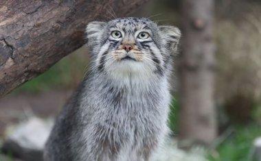 神戸どうぶつ王国の仲間 Pallas's cat
